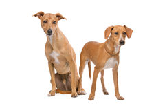 Two Brown and White Podenco dogs Royalty Free Stock Images
