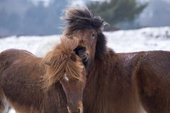 Two wild horses fighting in winter landscape Stock Photo