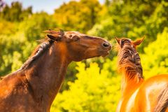 Two brown wild horses on meadow field. Two brown wild horses on meadow idyllic field. Agricultural mammals animals in natural environment Royalty Free Stock Images