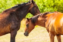 Two brown wild horses on meadow field. Two brown wild horses on meadow idyllic field. Agricultural mammals animals in natural environment Stock Image