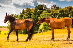 Two brown wild horses on meadow field Royalty Free Stock Images