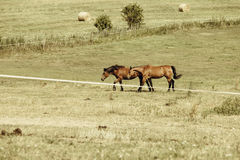 Two brown wild horses on meadow field Stock Photography