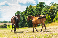 Two brown wild horses on meadow field Royalty Free Stock Photography