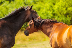 Two brown wild horses on meadow field Stock Photo