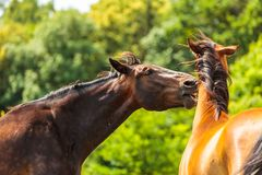 Two brown wild horses on meadow field. Two brown wild horses on meadow idyllic field. Agricultural mammals animals in natural environment Royalty Free Stock Photography