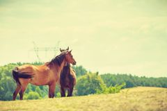 Two brown wild horses on meadow field. Two brown wild horses on meadow idyllic field. Agricultural mammals animals in natural environment Royalty Free Stock Photos