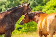 Two brown wild horses on meadow field Royalty Free Stock Image