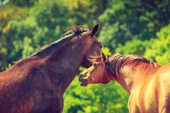 Two brown wild horses on meadow field. Two brown wild horses on meadow idyllic field. Agricultural mammals animals in natural environment Stock Photography