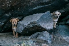 Two Brown young dogs sitting in the woods stock images
