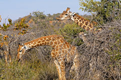 Two browsing Giraffes. Giraffe camelopardalis, in the African thornbush savannah, Game Reserve, South Africa Stock Image
