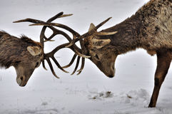 Fighting deers Royalty Free Stock Photography