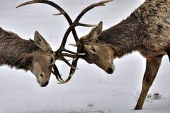 Fighting deers Royalty Free Stock Photos