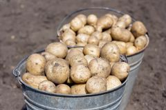 Two buckets with potatoes Stock Photography