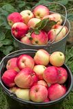 Two buckets with ripe apples Stock Photos