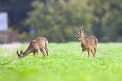 Two bucks deer in the wild Royalty Free Stock Images
