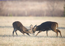 Two bucks fighting Royalty Free Stock Photography