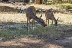Two Bucks in Yosemite stock photo