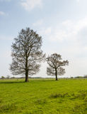 Two budding trees in the spring season Royalty Free Stock Image