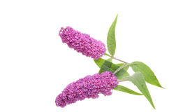 Two Buddleja Royalty Free Stock Images