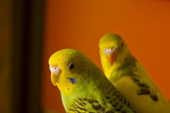 Two budgerigars. Green and yellow against the background of orange Royalty Free Stock Images