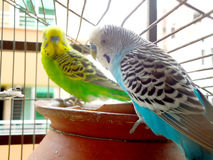 Two budgerigars in cage Royalty Free Stock Image