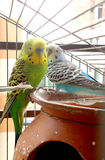 Two budgerigars in cage Stock Image