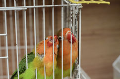 Two budgerigars in cage Royalty Free Stock Images