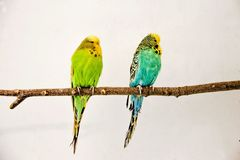 Two budgerigars sitting on the twig stock images