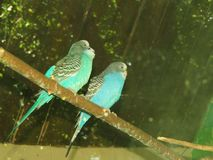 Two budgerigars Stock Photography