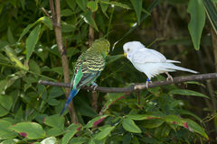 Two budgie parakeets. Stock Image