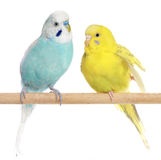 Two Budgie sit on a perch. On a white background stock photos