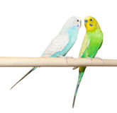 Two Budgie sit on a perch Stock Images