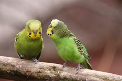 Two budgies Royalty Free Stock Photos