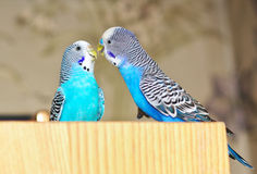 Two budgies Stock Photography