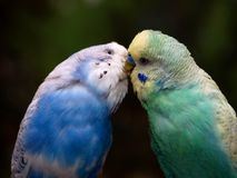 Two budgies Stock Images