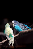 Two budgies royalty free stock image