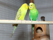 Two budgies in a cage Royalty Free Stock Images