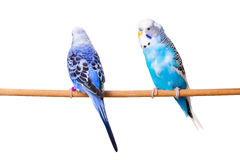 Two Budgies Royalty Free Stock Photography