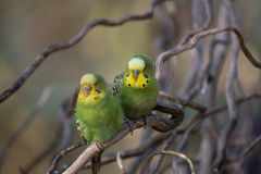 Two budgies playing - Stock image Stock Images