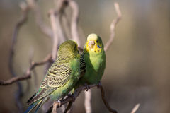 Two budgies playing - Stock image Stock Photo