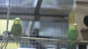 Two budgies on a tree swing 3 stock footage