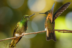 Two Buff-tailed Coronet Hummingbirds, Mindo in Ecuador. Two Buff-tailed Coronet Hummingbirds sitting on one banch and fighting, Mindo in Ecuador stock image