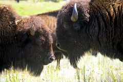 Two Buffalo Royalty Free Stock Images