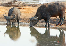 Two Buffalo drinking from a waterhole with good reflection Stock Images