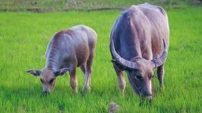 two buffalo Stock Photos