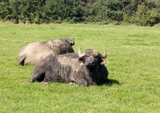 Two buffalo in english farm meadow Stock Image