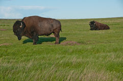 Two buffalo grazing on pasture. Two bisons (or bufflos) grazing on the pasture in Badlands National Park Royalty Free Stock Image