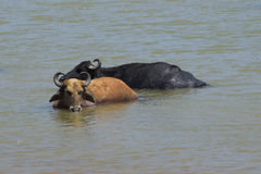 Two buffalo are in the lake. Yala Park, Sri Lanka Stock Photo