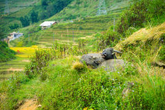 Two buffalo lying in a meadow in the mountains Royalty Free Stock Images