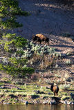 Two Buffalo. Rest on the mountainside after crossing the Yellowstone River in Wyoming Stock Image